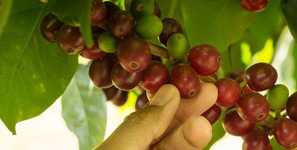 Coffee fruit with human hand.