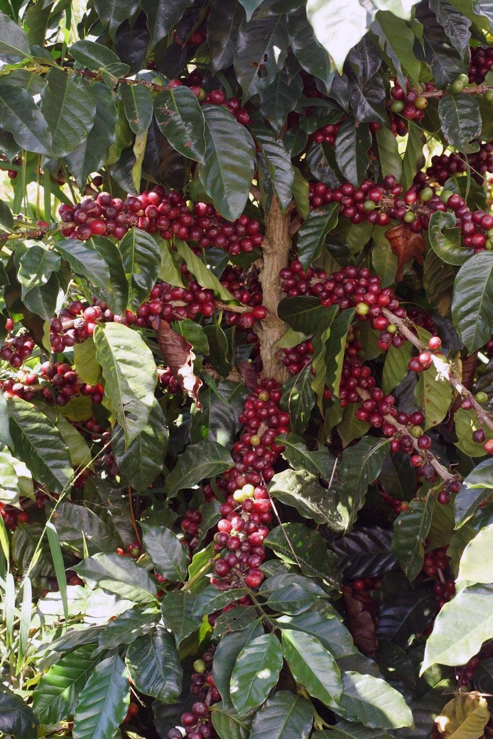 Sinouk Coffee Plantation : Harvest and Process Your Own Coffee Beans - Find us