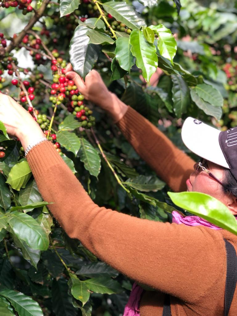 Coffee Harvesting Activity : Immerse yourself in the nature of the Bolaven Plateau - Coffee Experience