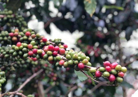 Waves of Challenges await the Bolaven Plateau's 2021 Harvest Season